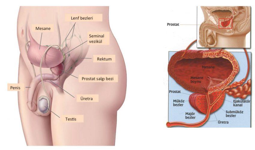 Prostat Nedir Belirtileri Nelerdir?
